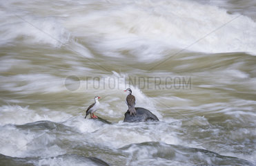 Torrent ducks (Merganetta armata)  two males on fast-flowing river  Cauca Valley  Colombia