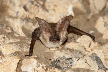 Gaisler's long-eared bat (Plecotus gaisleri) in a cave  Morocco
