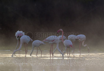 Greater Flamingo (Phoenicopterus roseus). Feeding at a cold and misty morning. At the Laguna de Fuente de Piedra near the town of Antequera. This is the largest natural lake in Andalusia and Europe's only inland breeding ground for this species. Malaga province  Andalusia  Spain.