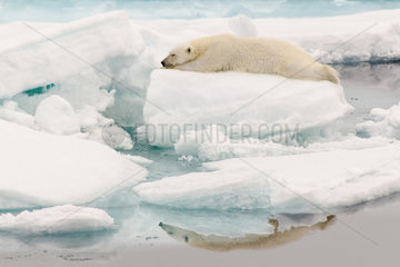 Polar bear (Ursus maritimus) on the ice floe and its reflection in the Arctic Ocean  Svalbard