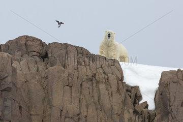 Polar bear (Ursus maritimus) male on rock  Spitsbergen  Svalbard.