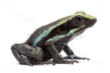 Pleasing Poison Frog in studio