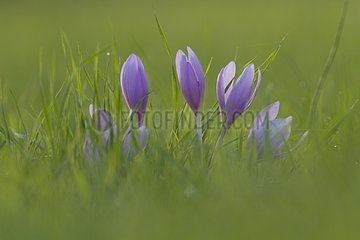 Autumn crocuses in a field in autumn France
