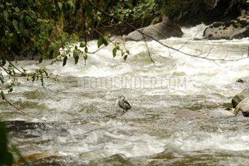Torrent Duck in tub Ecuador