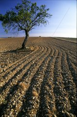 Tree and plowing - Valensole Provence France