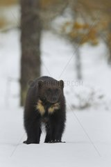 Wolverine standing on snow in woodland wetlands - Finland