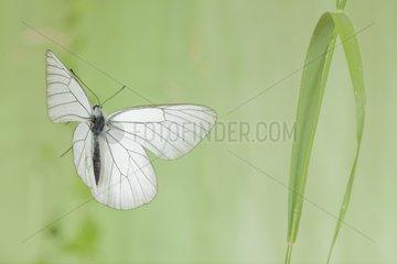 Black-veined White in flight - France