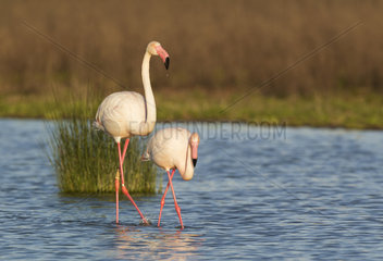 Greater Flamingo (Phoenicopterus roseus). A male in the mood for mating follows a female. At the Laguna de Fuente de Piedra near the town of Antequera. This is the largest natural lake in Andalusia and Europe's only inland breeding ground for this species. Malaga province  Andalusia  Spain.