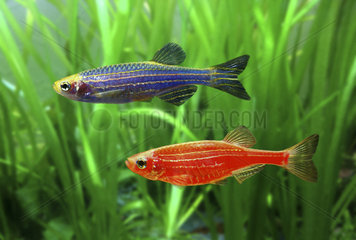 GloFish Zebrafish (Danio rerio)  red and blue versions. Although not originally developed for the ornamental fish trade  it is one of the first genetically modified animals to become publicly available. These fluorescent fishes were developed with a gene that encodes the green fluorescent protein from a jellyfish. The gene was inserted into a zebrafish embryo  allowing it to integrate into the zebrafish's genome  which caused the fish to be brightly fluorescent under both natural white light and ultraviolet light. Their goal was to develop a fish that could detect pollution by selectively fluorescing in the presence of environmental toxins. USA