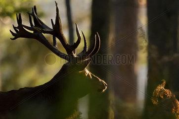 Red Deer (Cervus elaphus) male in the undergrowth  Boutissaint Forest  Yonne  Burgundy  France