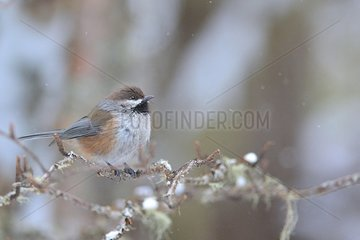 Boreal Chickadee (Poecile hudsonicus) in the Montmorency Forest  Quebec  Canada