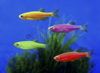 GloFish Zebrafish (Danio rerio)  in diverse color versions. Although not originally developed for the ornamental fish trade  it is one of the first genetically modified animals to become publicly available. These fluorescent fishes were developed with a gene that encodes the green fluorescent protein from a jellyfish. The gene was inserted into a zebrafish embryo  allowing it to integrate into the zebrafish's genome  which caused the fish to be brightly fluorescent under both natural white light and ultraviolet light. Their goal was to develop a fish that could detect pollution by selectively fluorescing in the presence of environmental toxins. USA