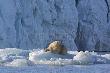Polar bear (Ursus maritimus) adult male resting on a piece of ice  Nordaustlandet  Spitzberg  Svalbard.