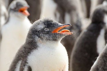 Gentoo penguin (Pygoscelis papua) chicks suffering from heat and panting  South Shetland  Antarctica