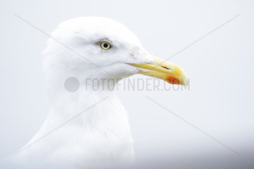 A high-key portrait of a young Herring Gull (Larus argentatus) off the coast of Northumberland  UK.