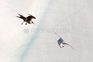 Parasitic Skua (Stercorarius parasiticus) hoofing a Black-legged Kittiwake (Rissa tridactyla) to extract food from the background of the Brasvellbreen Glacier of North-East Land  Svalbard