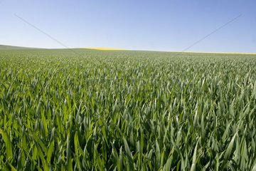 Wheat field at the stage beginning swelling France