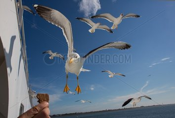 seagulls in Holland