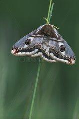 Female Emperor moth on a stem grass Ain France