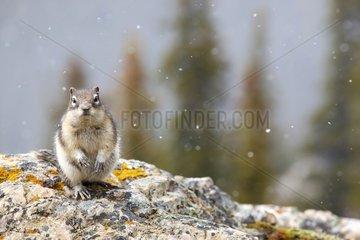 Golden-mantled ground squirrel in snow - Banff Canada