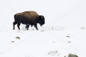 American Bison walking in the snow - Yellowstone USA
