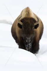American Bison in the snow - Yellowstone USA