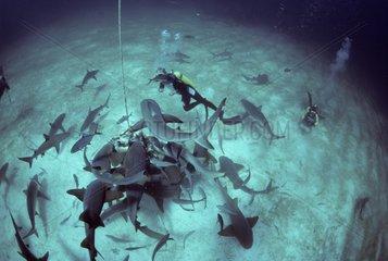 Diver observes Sharks feeding on frozen ball Bahamas