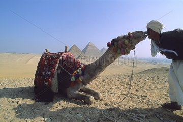 Camel and its breeder in front of the pyramids of Giza