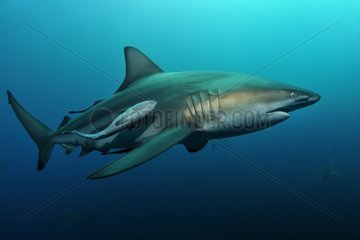 Blacktip shark and remora swimming in Indian Ocean