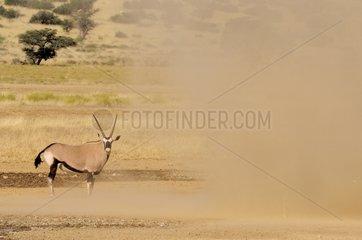Oryx and sand tornado - Kgalagadi Kalahari Desert