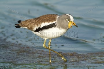 White-crowned Lapwing walking in water - Kruger South Africa
