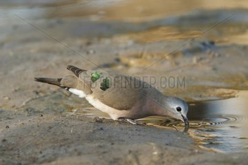 Emerald-spotted wood dove drinking - Kruger South Africa