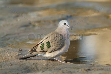 Emerald-spotted wood dove - Kruger South Africa