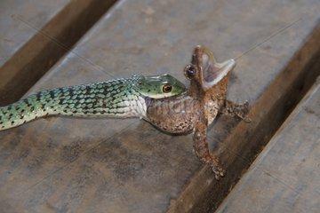 Spotted Bush Snake eating a Frog - Kruger South Africa