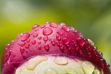 Dewdrops on a bud of peony France