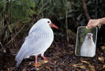 Experiment on the territorial behavior with a Kagu