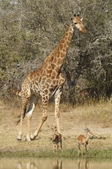Giraffe and Impalas at waterhole - Kruger South Africa