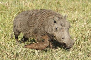 Warthog and Hamerkop - Kruger South Africa