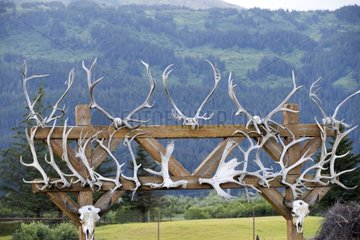 Elk Wapitis and Muskox antlers on gate - Alaska USA