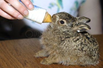 Bottle feeding a young orphan Brown Hare - France