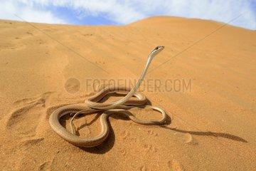 Schokari sand racer in the desert - Morocco South
