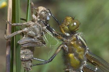 Close up of Eurasian red dragonfly emerging Bourgogne France