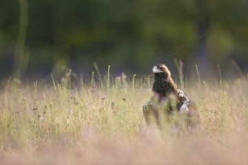 Spanish Imperial Eagle on ground Spain