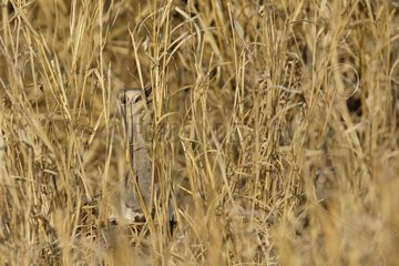 White-quilled bustard hiding in grass South Africa