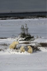 Polar bear female and its bear cubs State of Manitoba