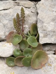 Pennywort leaves in the crannies of a wall at spring
