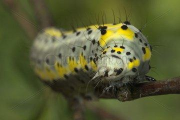 Caterpillar of Figure of Eight Bourgogne France