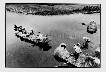 Rice harvesting in the Red River Delta Vietnam