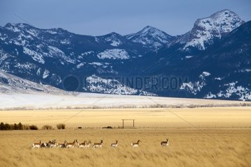 Pronghorns on the Prairie - Grand Teton USA