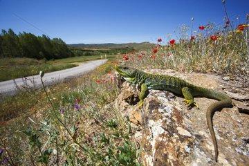 Male Ocellated lizard on a rock - Aragon Spain